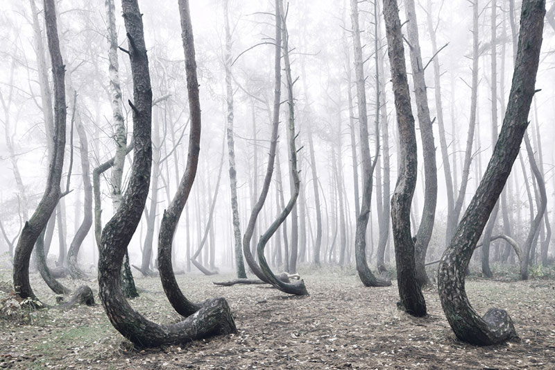 crooked forest in poland by Kilian Schoenberger (2)