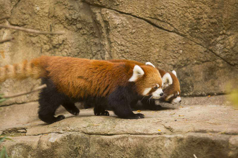 cutest cubs in chicago red pandas at lincoln park zoo (10)