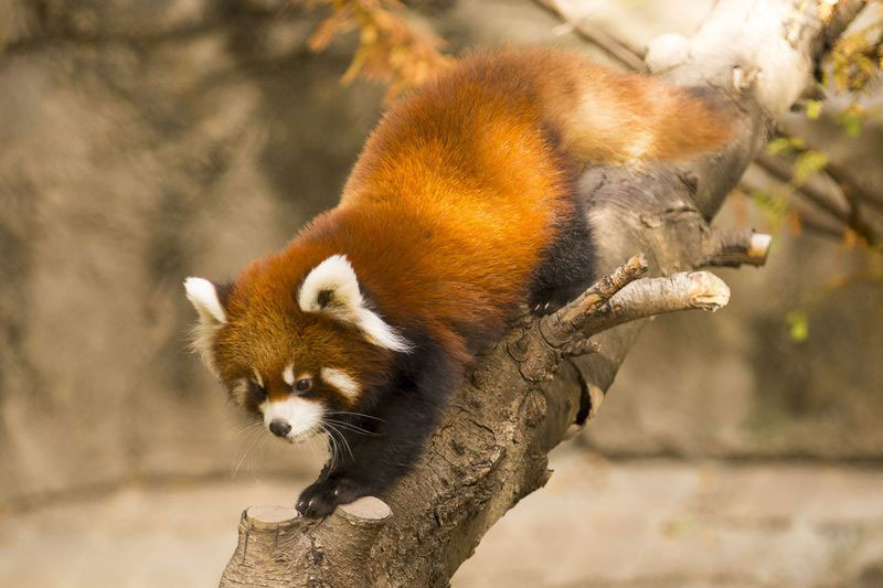 cutest cubs in chicago red pandas at lincoln park zoo (7)