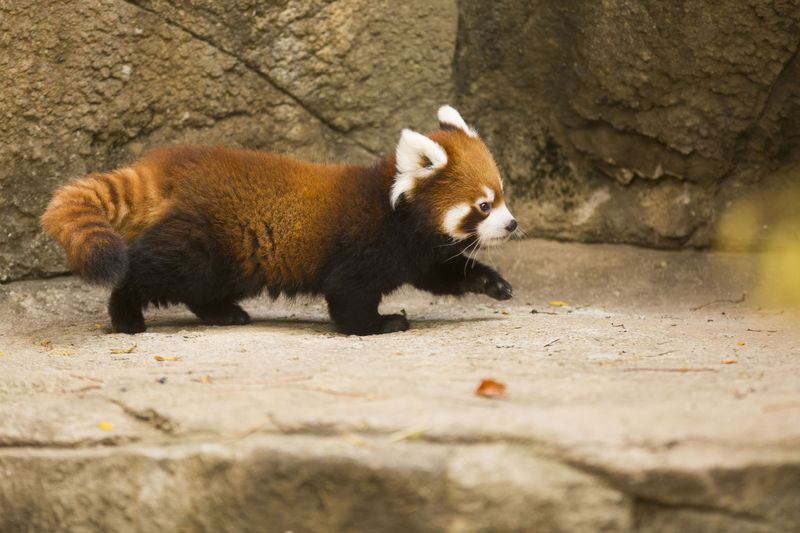 cutest cubs in chicago red pandas at lincoln park zoo (8)
