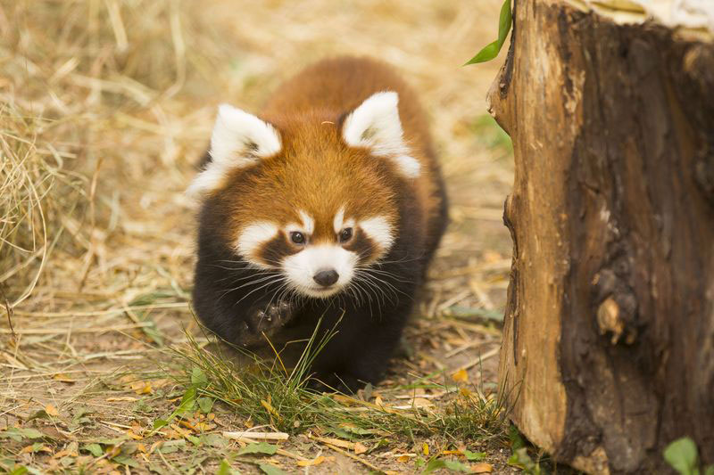 cutest cubs in chicago red pandas at lincoln park zoo (9)