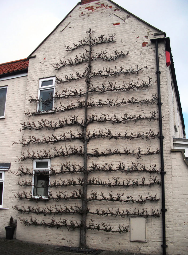 This Espaliered Fruit Tree Looks Two Dimensional Twistedsifter
