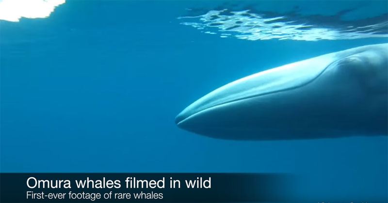 The First Ever Footage of an Omura's Whale in the Wild