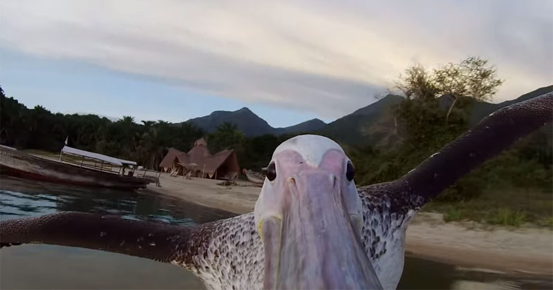 Rescued Pelican Learns to Fish With Help from his HumanFriends