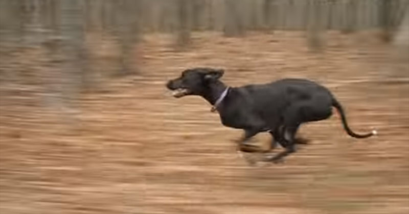 Watch This Graceful Great Dane Run 30 MPH