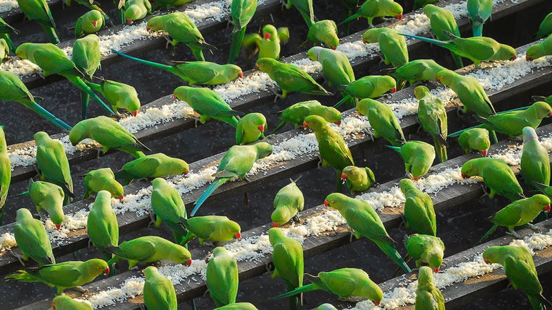 India's 'Birdman' Spends 40% of His Income to Feed 4,000 ParakeetsDaily
