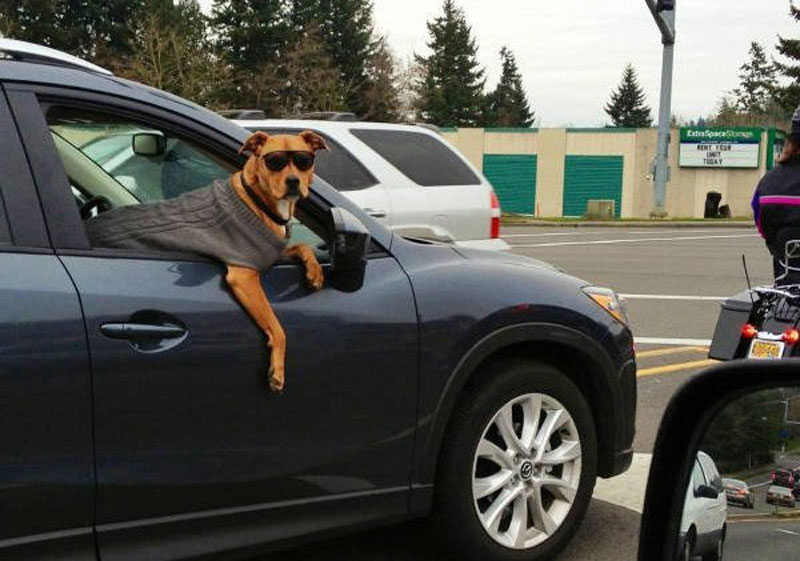 dog with sunglasses in car passenger seat The Shirk Report – Volume 348