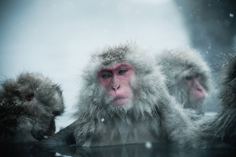 Jigokudani Monkey Park Japan by ron gessel  (1)