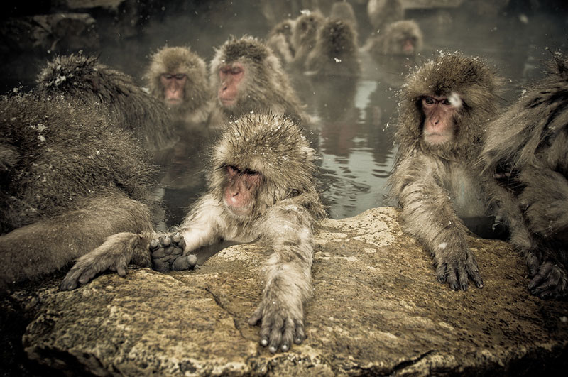 Jigokudani Monkey Park Japan by ron gessel  (11)