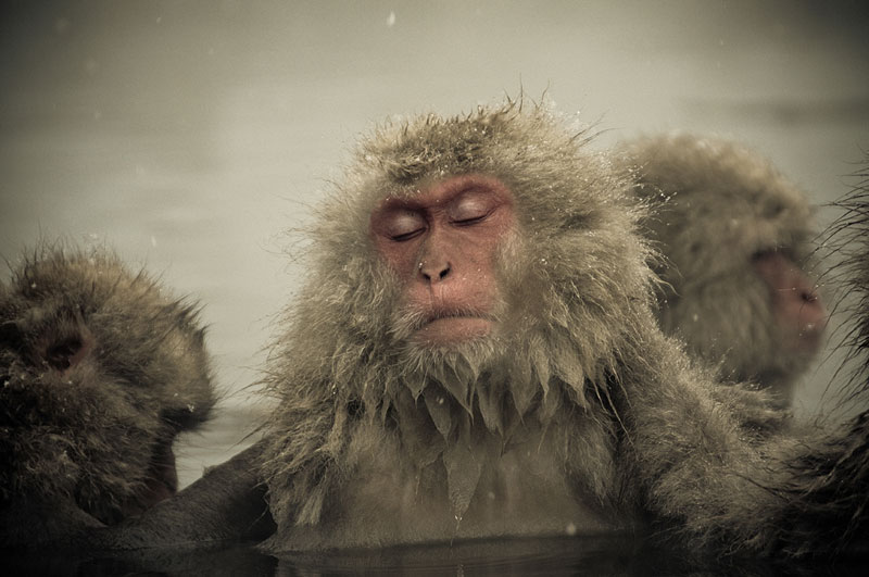 Jigokudani Monkey Park Japan by ron gessel  (14)