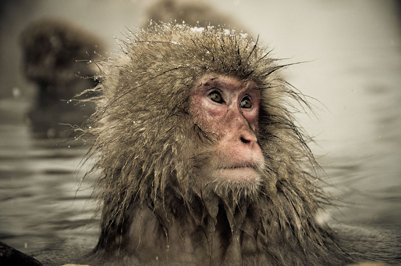 Jigokudani Monkey Park Japan by ron gessel  (17)