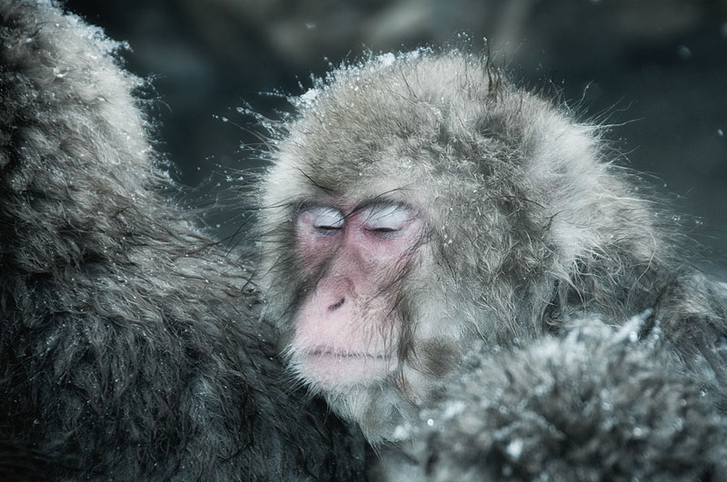 Jigokudani Monkey Park Japan by ron gessel  (3)