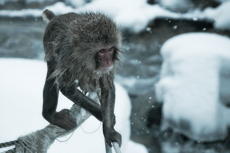 Jigokudani Monkey Park Japan by ron gessel  (4)