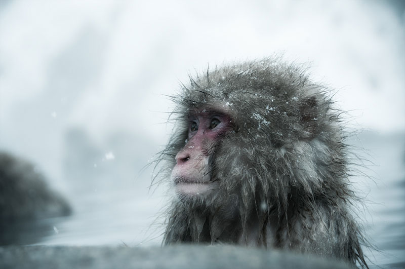Jigokudani Monkey Park Japan by ron gessel  (8)