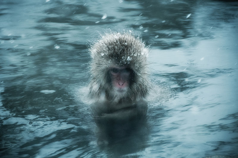 Jigokudani Monkey Park Japan by ron gessel  (9)