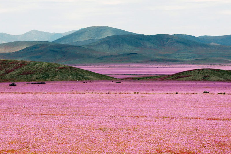 atacama desert covered in pink flowers Picture of the Day: The Driest Place on Earth in Full Bloom