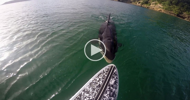 Paddle Boarder Has Close Encounter with an Orca