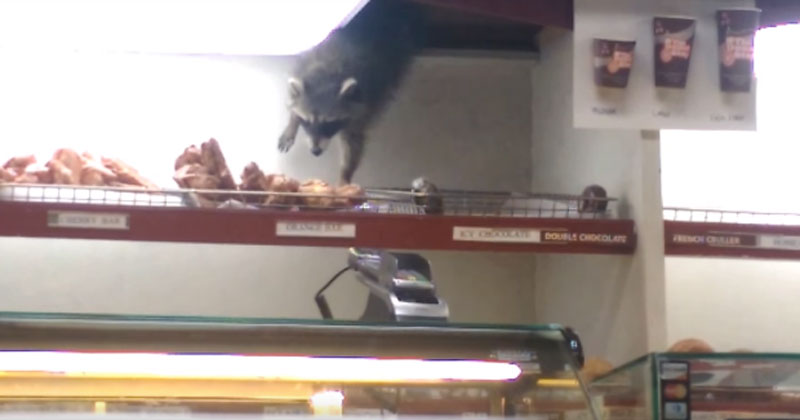 raccoon doughnut thief The Shirk Report – Volume 351