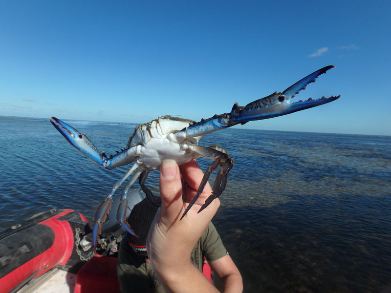 can you photoshop this blue crab showing off its claws (1)