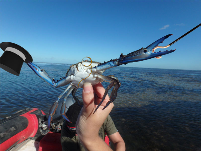 can you photoshop this blue crab showing off its claws (7)