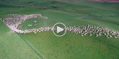 Drone Captures Sheep Being Herded Across the Grasslands of New Zealand fromAbove