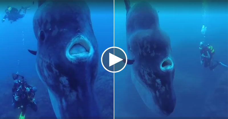 Scuba Diving With a Mola Mola, the World's Largest Bony Fish