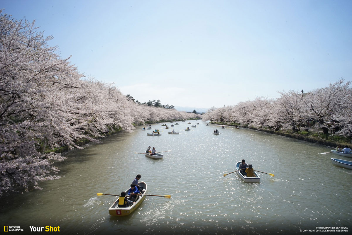 02 Spring Has Sprung! And In Japan, That Means Cherry Blossoms (8 photos)
