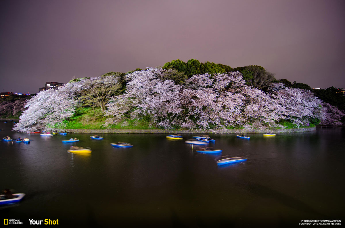 03 Spring Has Sprung! And In Japan, That Means Cherry Blossoms (8 photos)