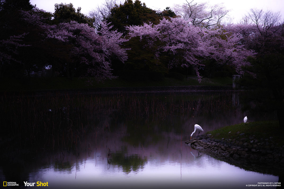 04 Spring Has Sprung! And In Japan, That Means Cherry Blossoms (8 photos)
