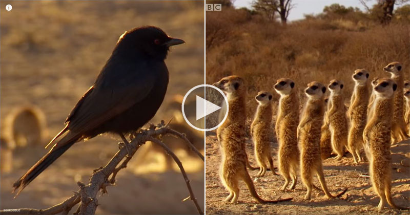Clever Bird Tricks Meerkats Into Hunting for Him