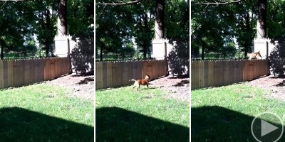 Owner Admires New Fence for 10 Whole Seconds Before Dog Casually Leaps It