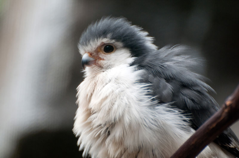 african pygmy falcon close up Picture of the Day: Just a Pygmy Falcon
