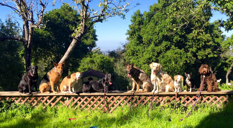 Dog Walker Takes Daily Pack Pics for the Owners by walkpro leash (10)
