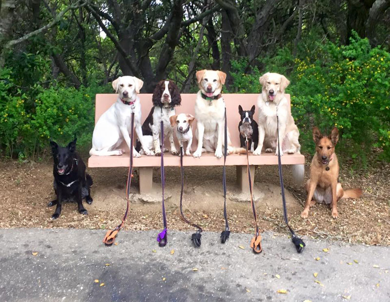 Dog Walker Takes Daily Pack Pics for the Owners by walkpro leash (11)