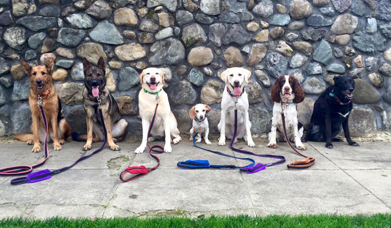 Dog Walker Takes Daily Pack Pics for the Owners by walkpro leash (17)