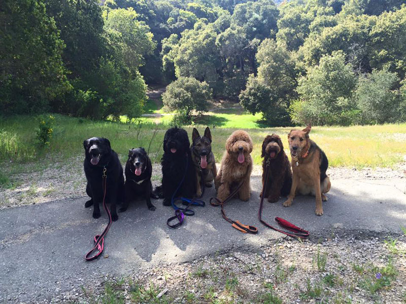Dog Walker Takes Daily Pack Pics for the Owners by walkpro leash (20)
