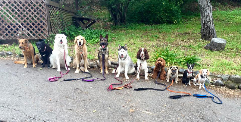 Dog Walker Takes Daily Pack Pics for the Owners by walkpro leash (23)
