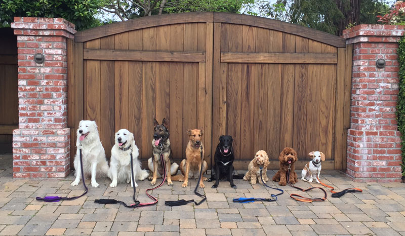 Dog Walker Takes Daily Pack Pics for the Owners by walkpro leash (5)