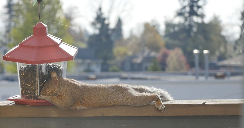 squirrel passes out from eating The Shirk Report – Volume 363