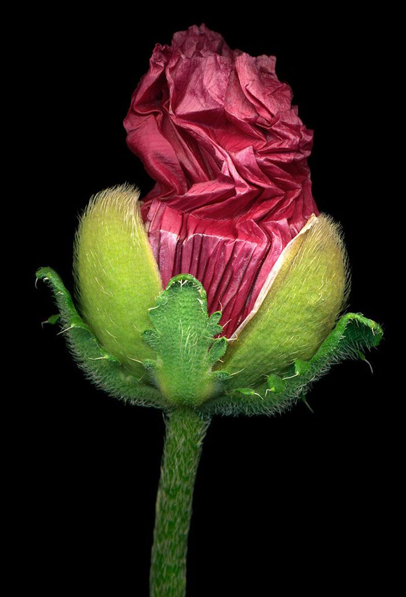 6) -Pink-Poppy