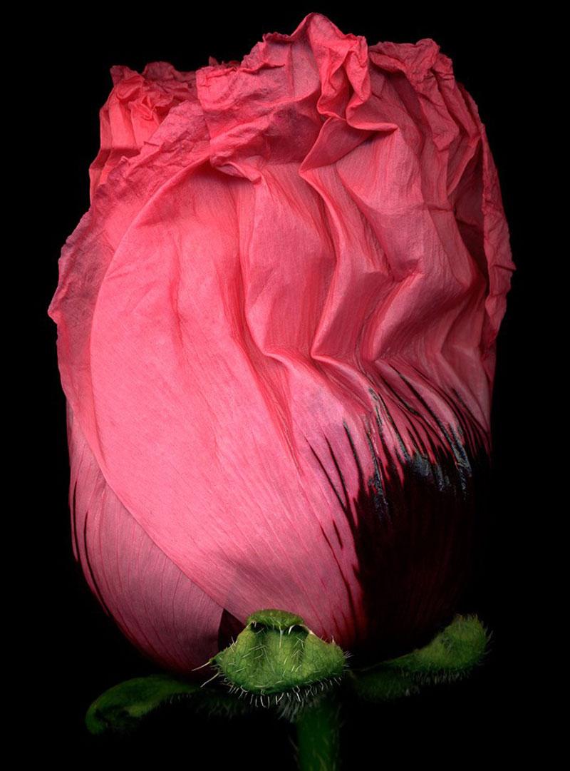 8)-Pink-Poppy-IV
