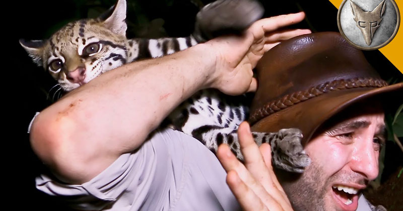 Nature Host Has Experience of a Lifetime with Wild Ocelot