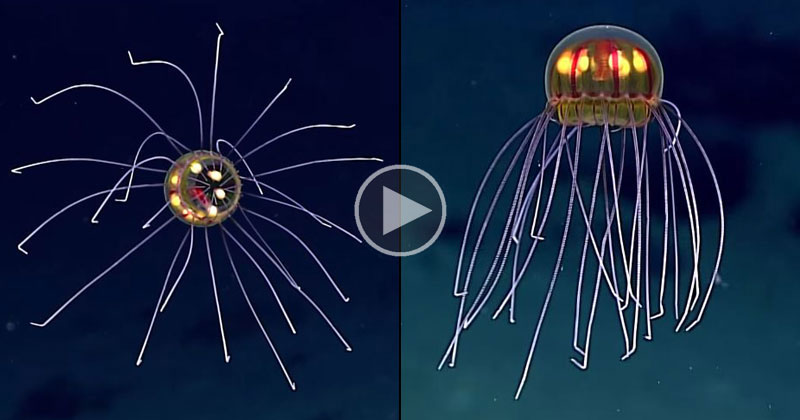 Rare and Mysterious Jellyfish Spotted 12,000 Ft Deep