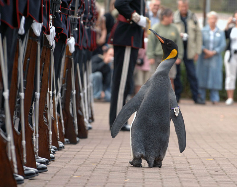 Meet Sir Nils Olav. King Penguin and Colonel-in-Chief of the Norwegian Royal Guard