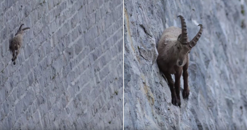 The Remarkable Climbing Prowess of Alpine Ibexes