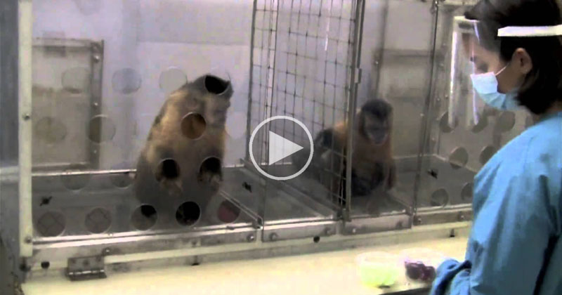 Watch What Happens When Monkeys Get Different Rewards for Doing the Same Task