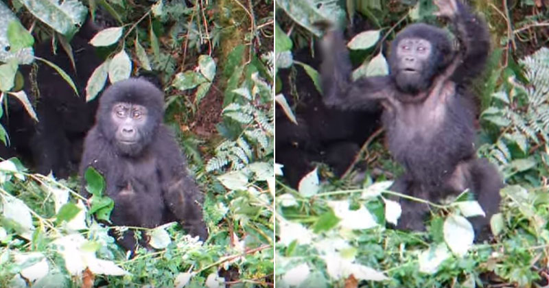 baby gorilla beats his chest for the first time