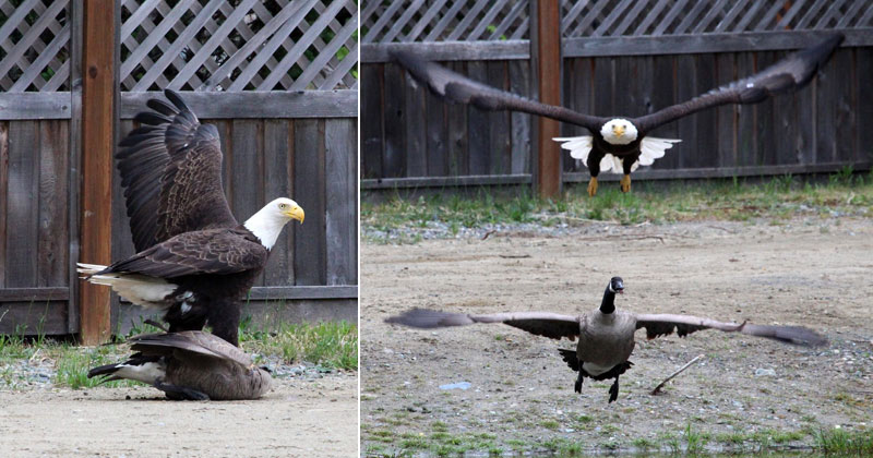 A Bald Eagle and Canada Goose Squared Off and Someone Caught It All (10 Photos)