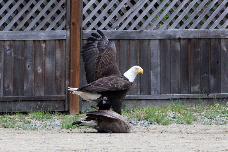 bald eagle vs canada goose by lisa bell (2)