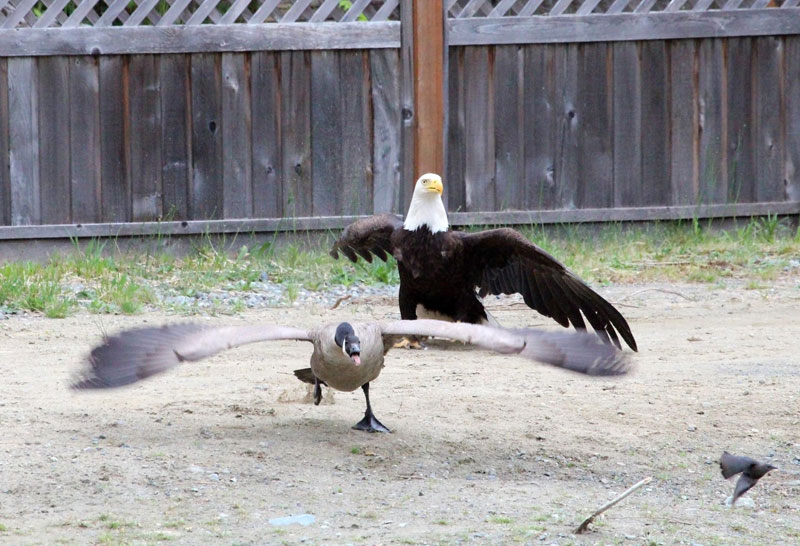 bald eagle vs canada goose by lisa bell (4)